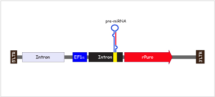 miRNA Plasmid Map